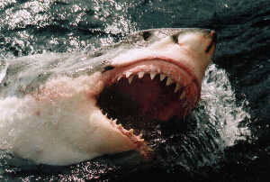 Carcharodon, Neptune Islands, Australia. Taken with a Nikon F100, 80-200mm lens. 